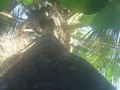 Foto Asli Pohon Kelapa