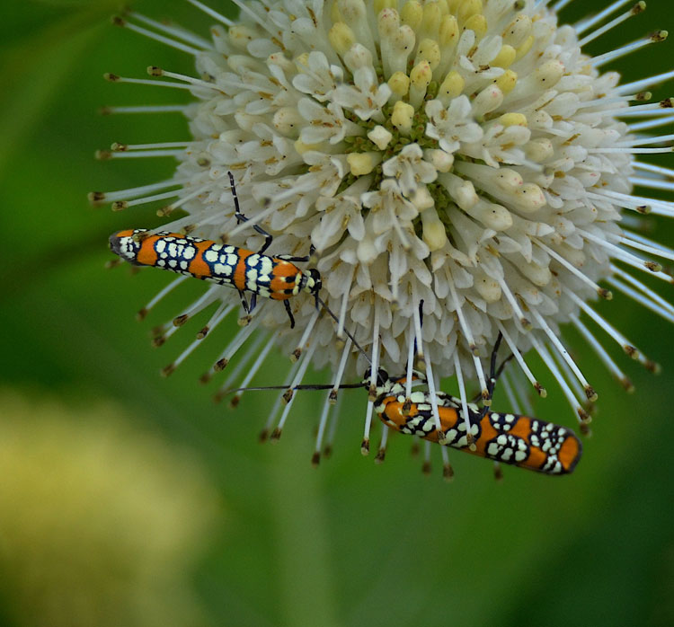 Orange-, black-, and white-checkered moths with long, thin beetle-like bodies were on many of the flowers at Spring Valley Wildlife Area.