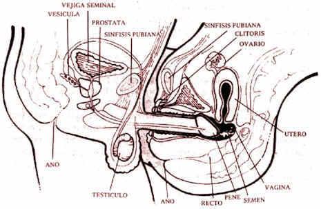 vagina y pene: