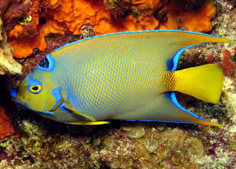Queen angelfish the life of animals for Queen angel fish