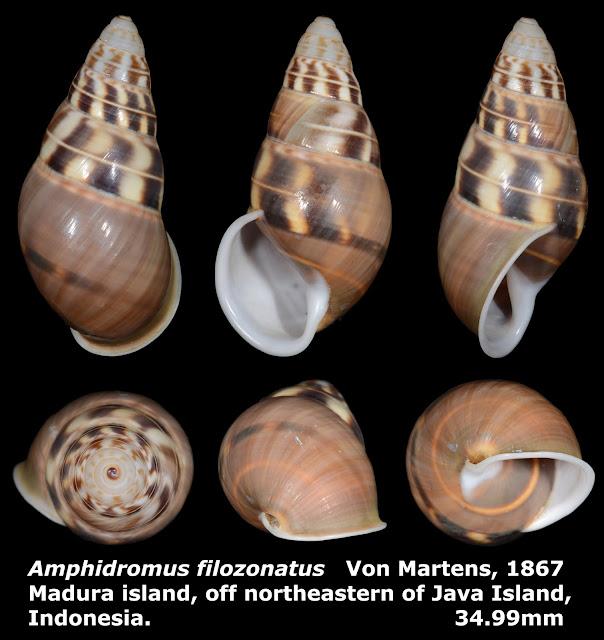 Amphidromus filozonatus 34.99mm