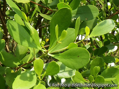 Teruntum Putih (Lumnitzera racemosa)