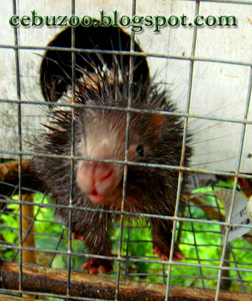 Cebu Zoo Porcupine