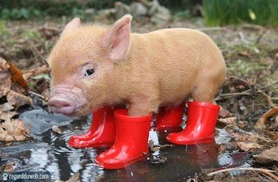 Photos drôles et insolites Animal - Cochon v31