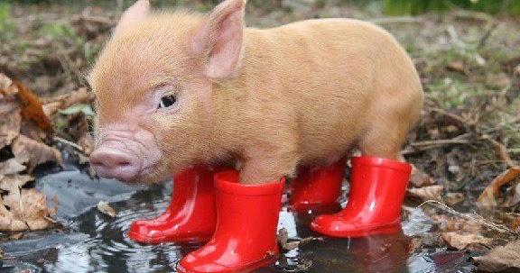 Photos drôles et insolites Animal - Cochon v31 - Des milliers de photos drôles et insolites