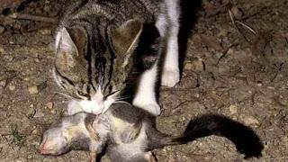 Australian wild cat