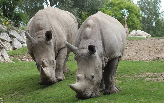 Rhinos at Zoo