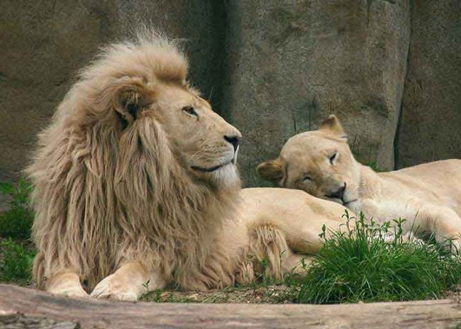 Amazing Albino Lions Albinism In Animals And Plants