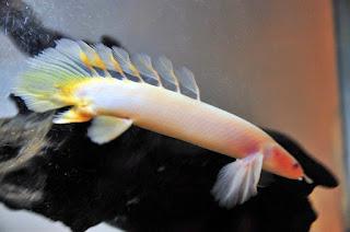 Ikan Palmas Albino