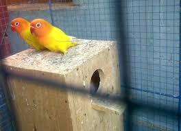 Penyebab Mengapa Lovebird Betina Tidak Segera Bertelur