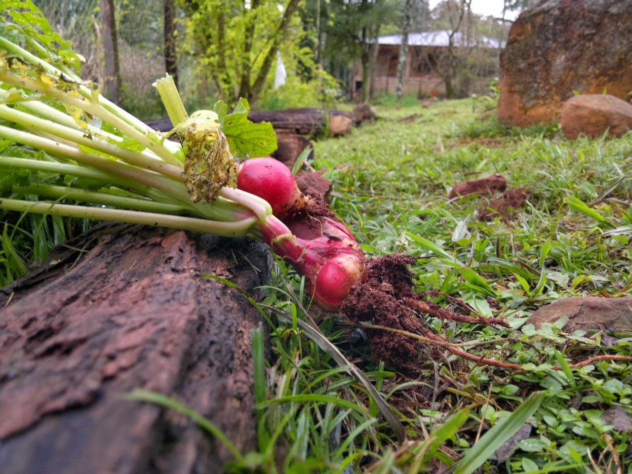 rabanitos permacultura misiones