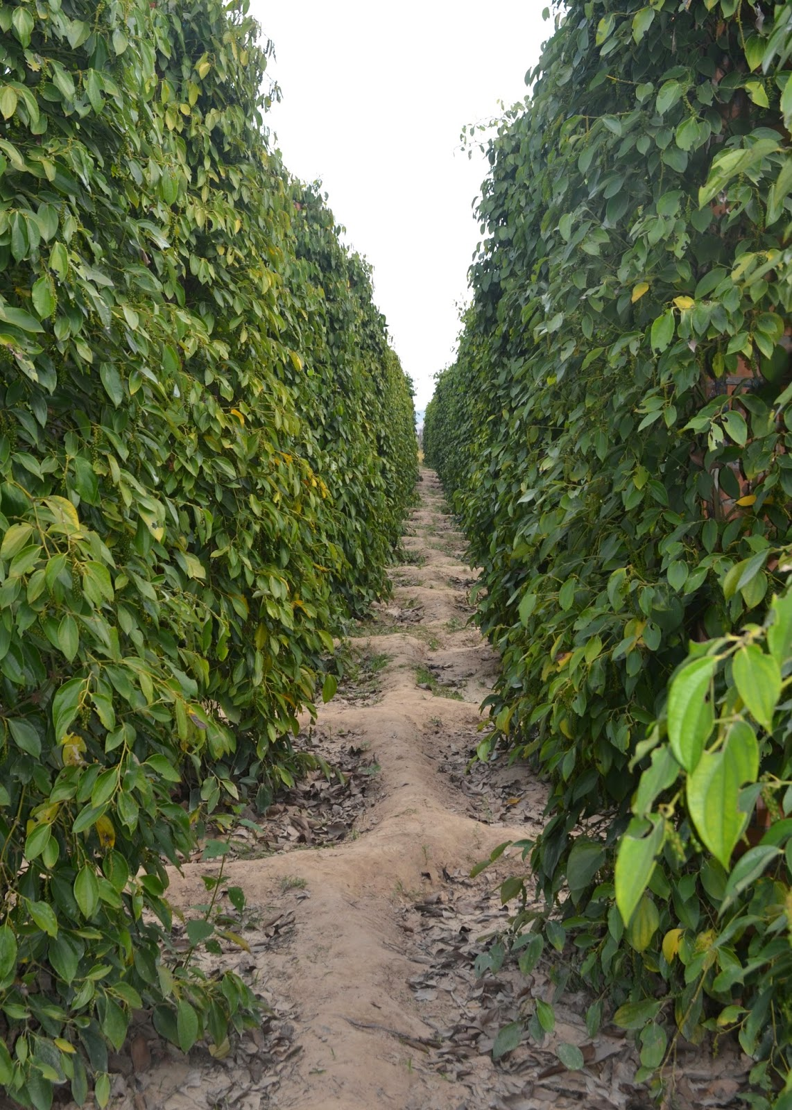 kampot pepper farm cambodia