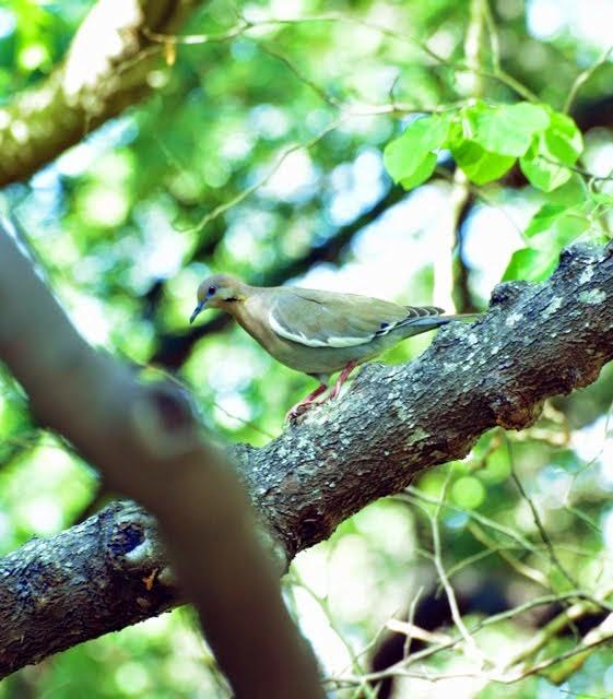 White-winged Dove_6551