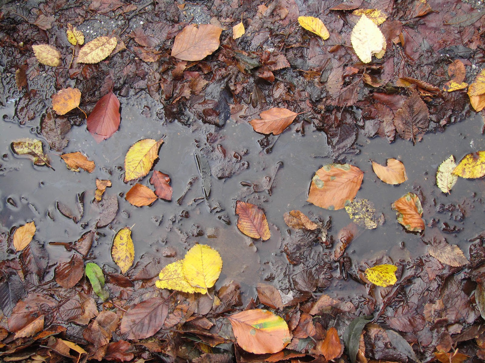yellow and brown leaves in a puddle