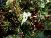 nudibranch koh waen koh kradan