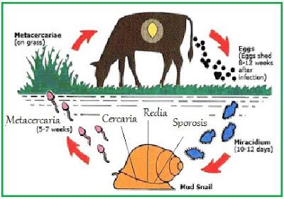 daur hidup, Fasciola hepatica