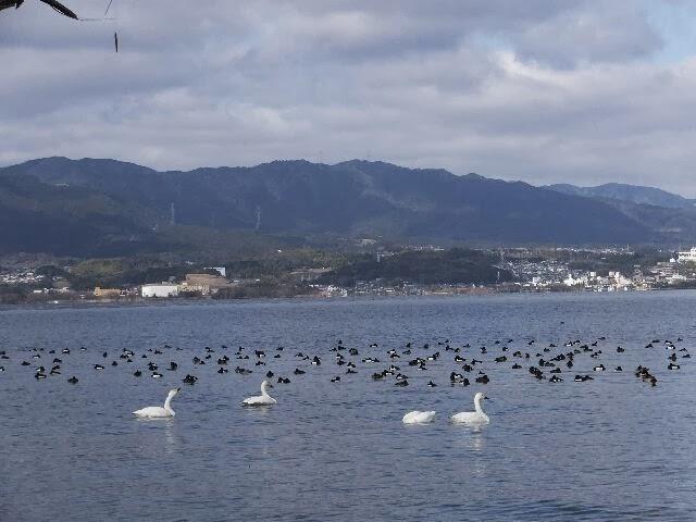 草津の志那浜はコハクチョウ飛来地。
