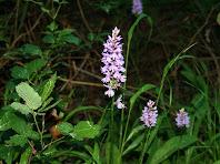 Orquídia Dactylorhiza Maculata