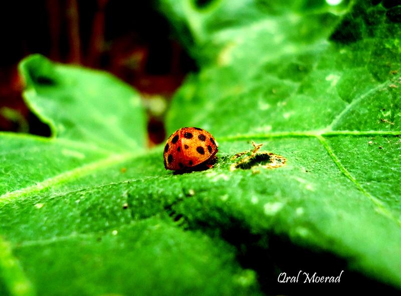 serangga-belang