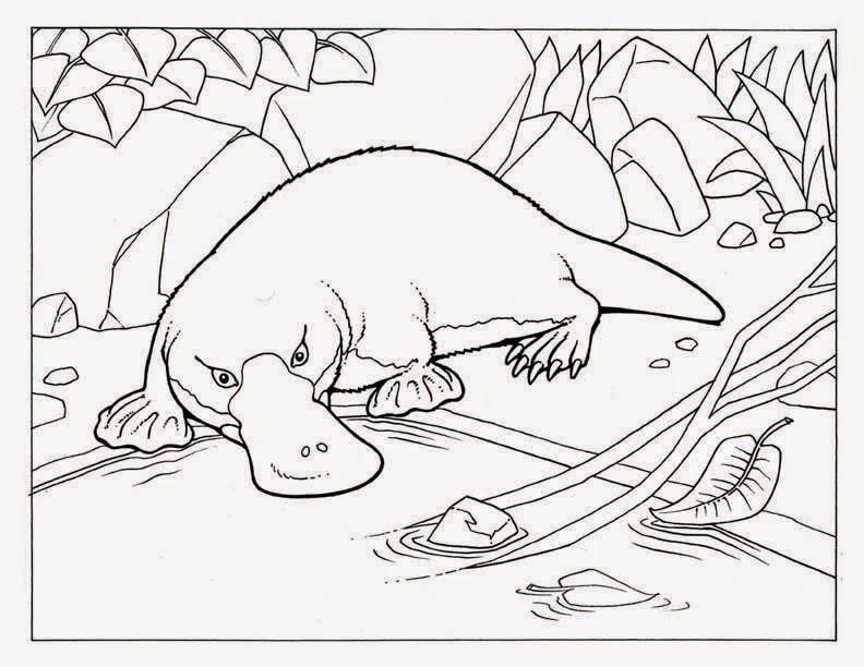 La Chachipedia: Dibujos de ornitorrincos para colorear o imprimir a ...