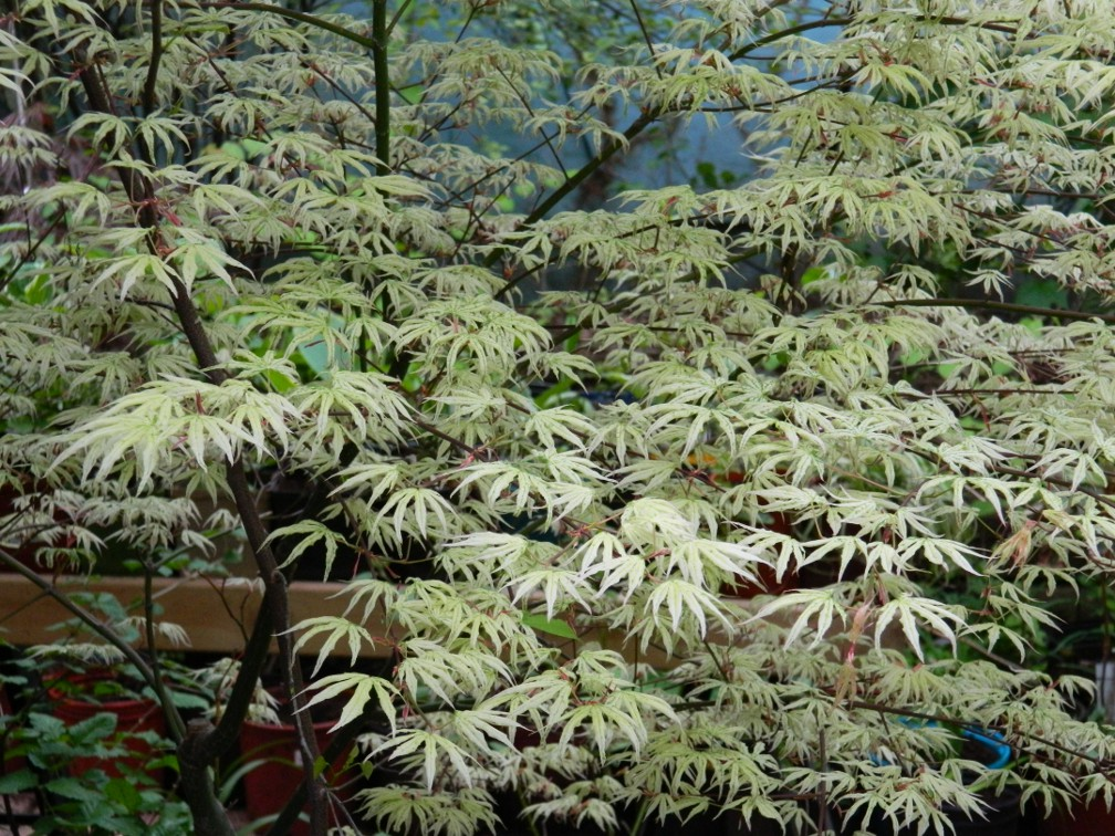 "Acer palmatum ""Ukigumo Floating Cloud"" Japanese maple spring foliage by garden muses: a Toronto gardening blog"