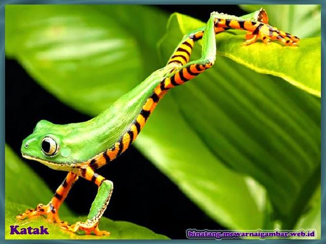 gambar binatang katak