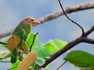 Burung Bultok :Ciri - Ciri Burung Bultok Yang Harus di Bedakan Dengan Perbandingan