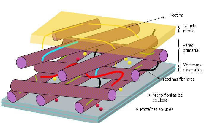 sebita la c lula la membrana plasm tica