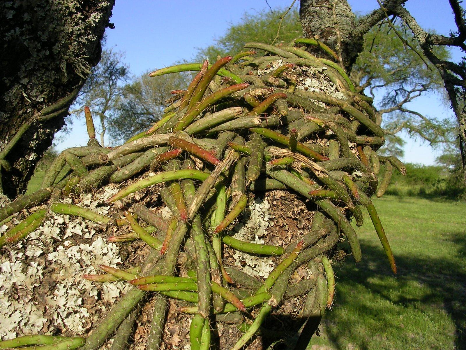 Argentina nativa suelda consuelda rhipsalis lumbricoides for Cactus argentina