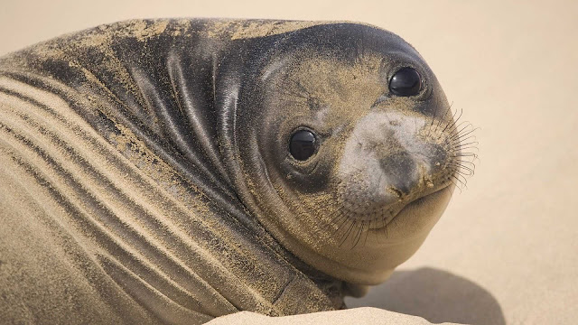 Beautiful close up photo of a big fat seal on the beach covered with sand