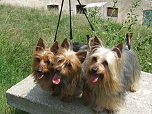Australian Silky Terrier Puppies