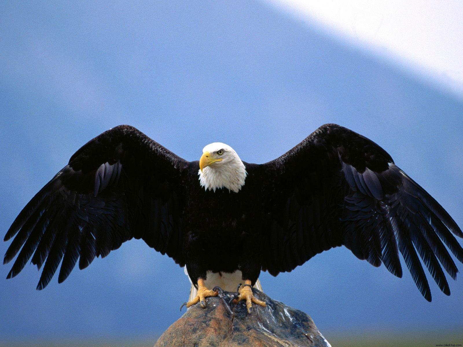 http://3.bp.blogspot.com/-DQF4sul4k1U/TjmQ0IVSUgI/AAAAAAAAAOw/LRziJaFgJIg/s1600/Bald+Eagle+Wallpapers+1.jpg