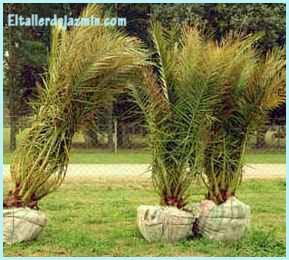 trasplante, árboles, palmeras