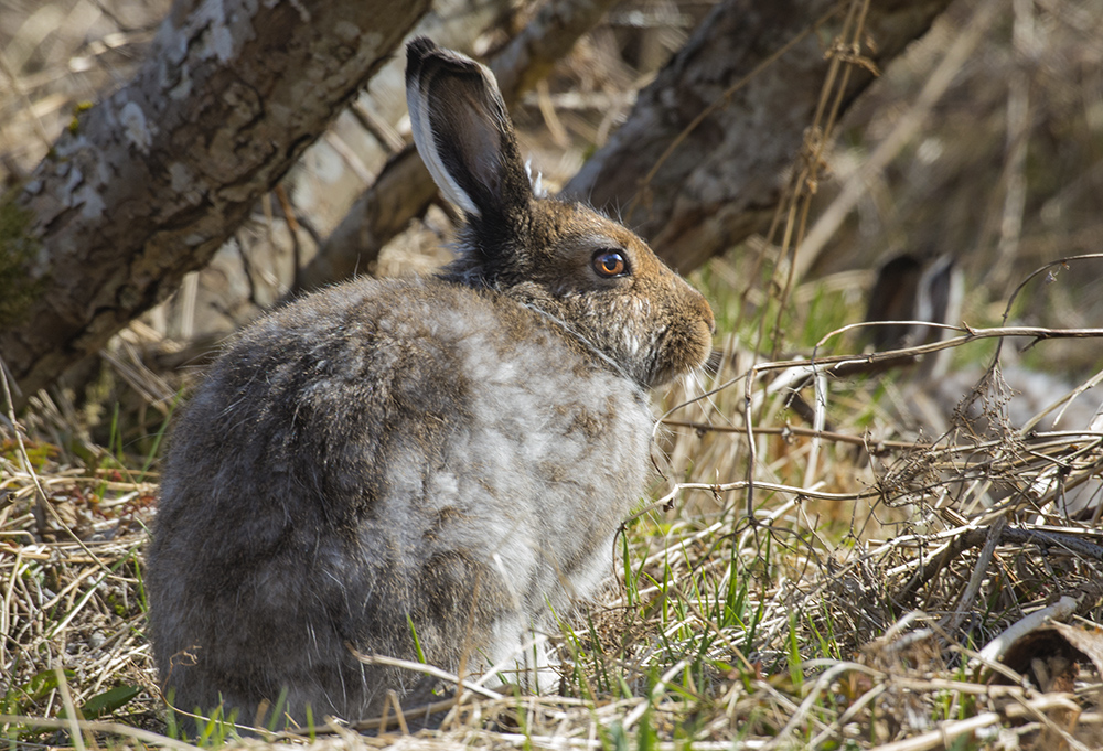Enkelt rav fra Haren