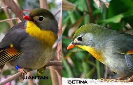 budidaya burung cara membedakan jenis kelamin robin