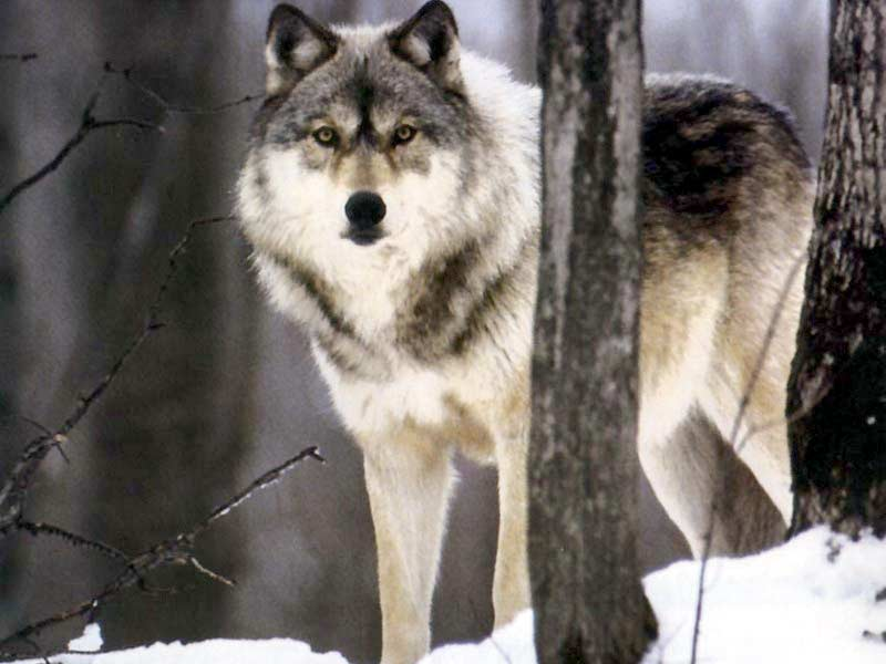 200 lb the smallest wolves live in iran and average about 60 lb