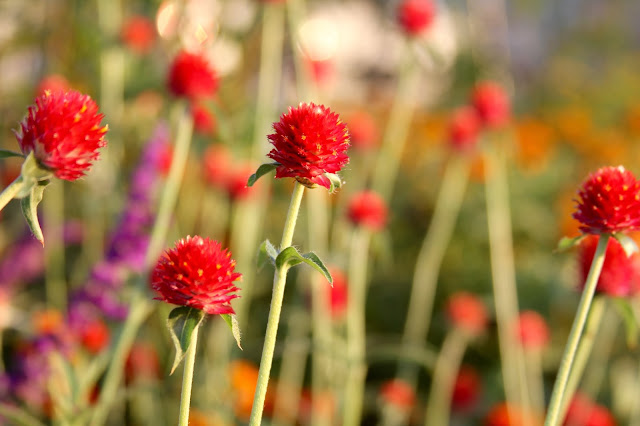 Strawberry Fields Gomphrena