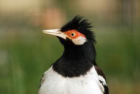 Cara Merawat Burung Jalak Suren Agar Gacor Dan NgeRoll Terus