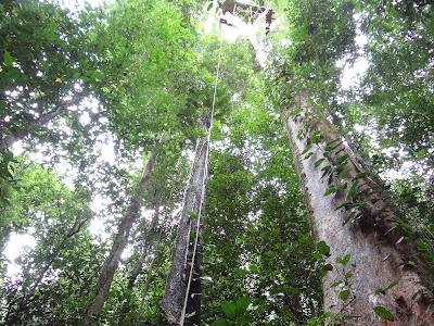 Pohon pohon berukuran besar dengan diameter lebih dari 1 meter