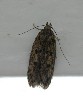 shandy hall moths 3 september 2012 how now brown house moth. Black Bedroom Furniture Sets. Home Design Ideas