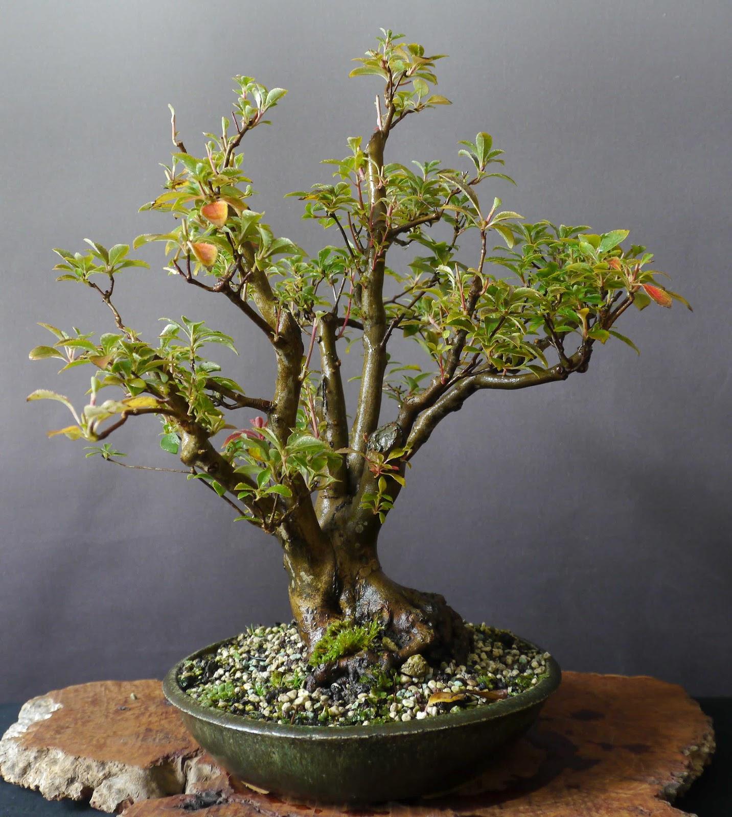 bonsai das sch nste hobby der welt prachtglocke nr 1 was aus ihr geworden ist. Black Bedroom Furniture Sets. Home Design Ideas
