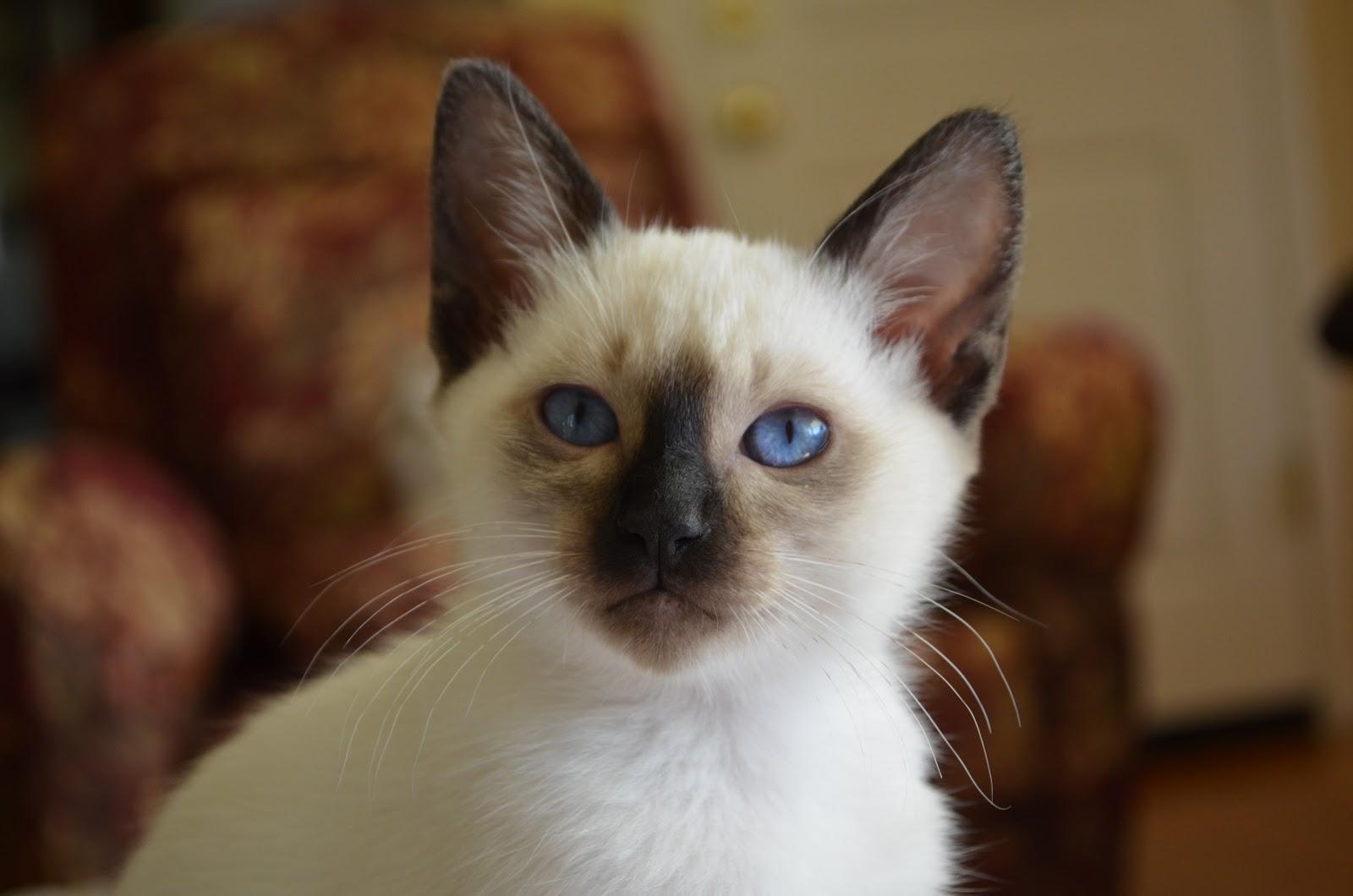 Топ кошек - Балинезийская кошка
