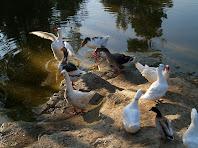 Els ànecs i oques de la bassa del Canadell