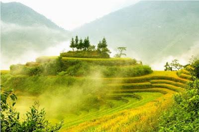 Vàng ươm mùa lúa chín ở Hoàng Su Phì1