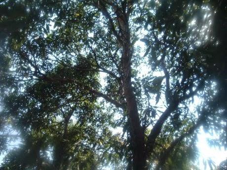 pohon sage tempat tinggal hantu