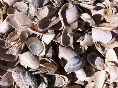 small Coquina shells