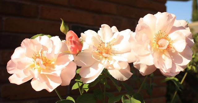 Rose Trio, three gracefuls, photograph, Sarah Myers, S. Myers, flower, art, triad, brick, bloom, stamens, petals, plants, floral, pink, arte