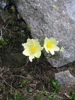 Pulsatilla Alpina (Anemone sulfurea)