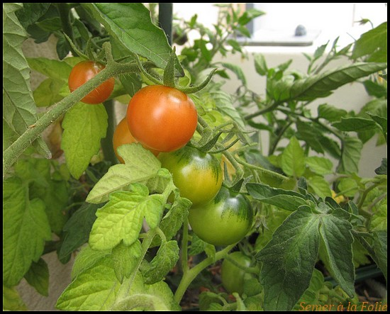 tomates cerises gardener's delight
