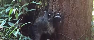Ένα πολύ χαριτωμένο βίντεο δείχνει μια μητέρα ρακούν να μαθαίνει το μικρό της να σκαρφαλώνει